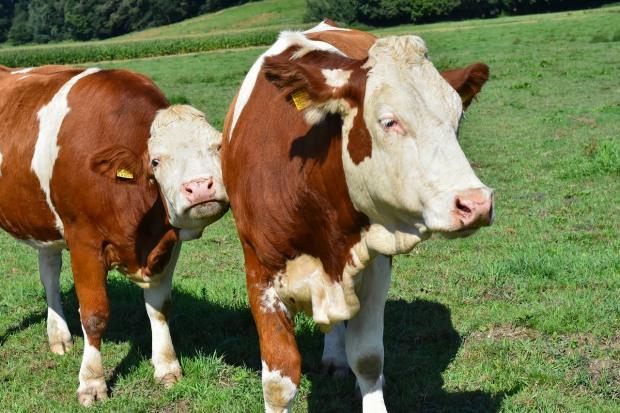 В травні в регіоні дещо покращилася ситуація з реалізацією сільгосп тварин та виробництвом молока