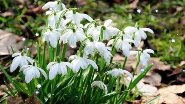 Днепровцев призывают защитить первые весенние цветы