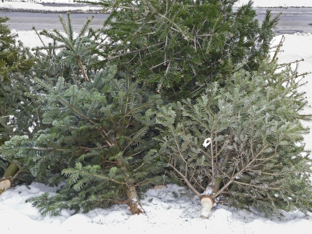 Лесхозы обнародовали сегодняшние цены на елки