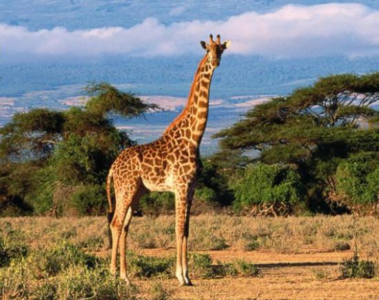 «Прямая линия» для жирафов