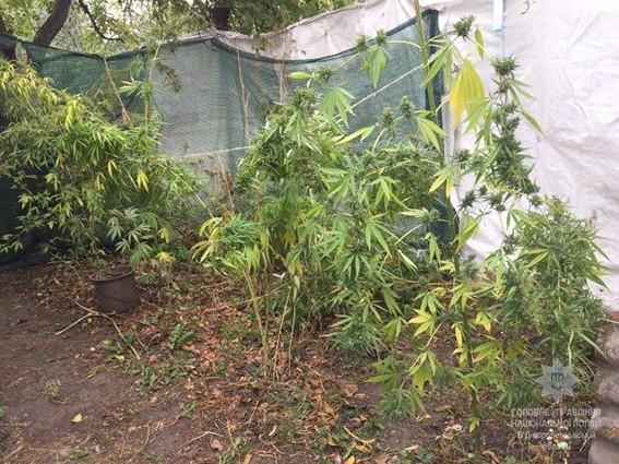 Конопляный садовод ухаживал за 32 кустами наркотического растения