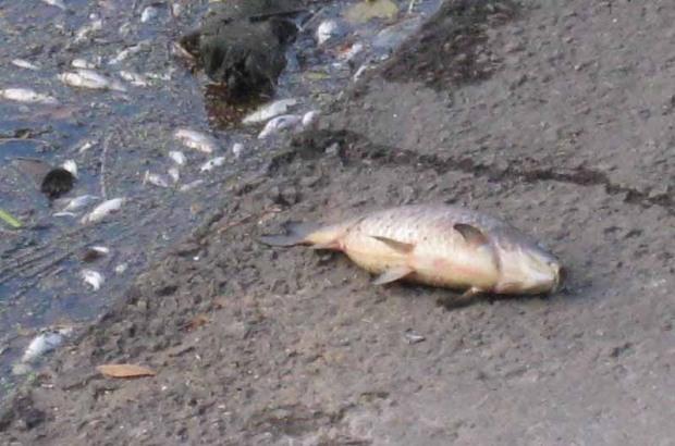 В дренажном канале под Каменским массовый мор рыбы