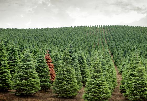 Лесхозы предупреждают о подорожании новогодних елей и сосен