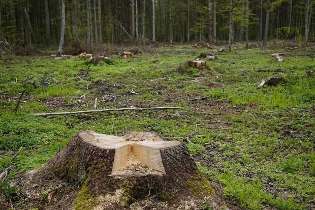На Дніпропетровщині рубають лісів у восьмеро більше, ніж відтворюють