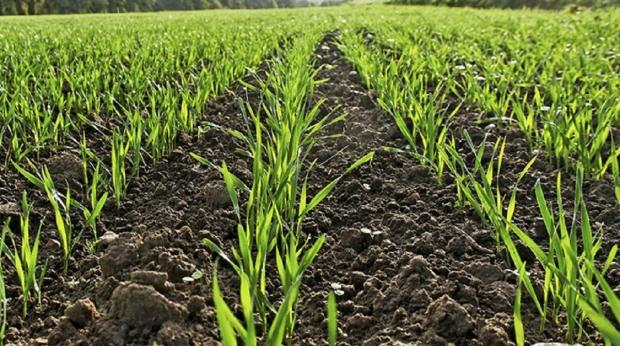 Перезимували! Посіви озимих тішать аграріїв Дніпропетровщни