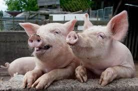 В Днепр временно прекратили завозить свинину