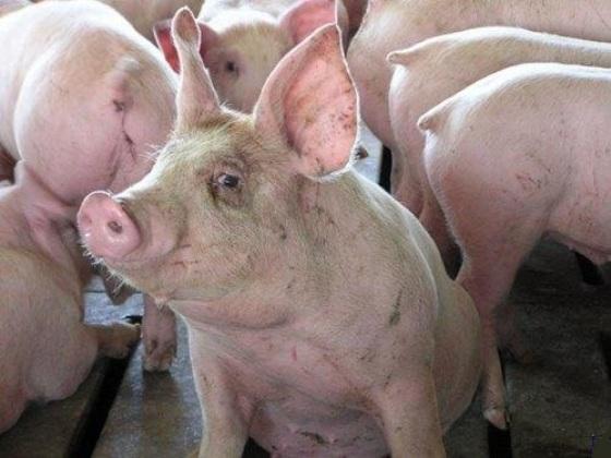 Увеличился риск подхватить африканскую чуму свиней
