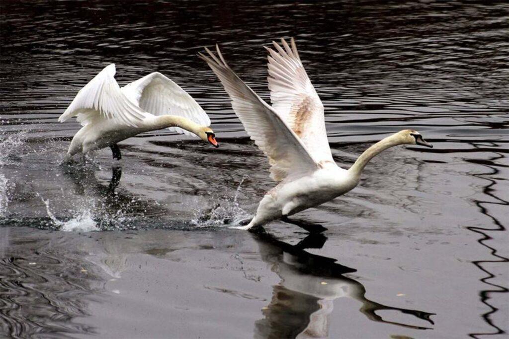 Під Нікополем мисливці вбивали лебедів в центрі села (відео)