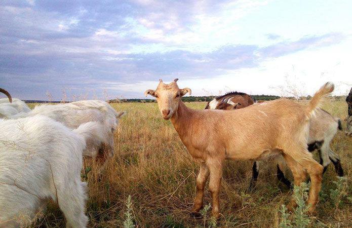 Кріворожанка знайшли артснаряд під час випасу кіз