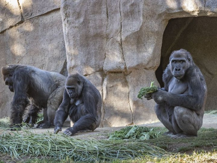 Три горили в зоопарку Сан-Дієго (США) заразилися коронавірусом