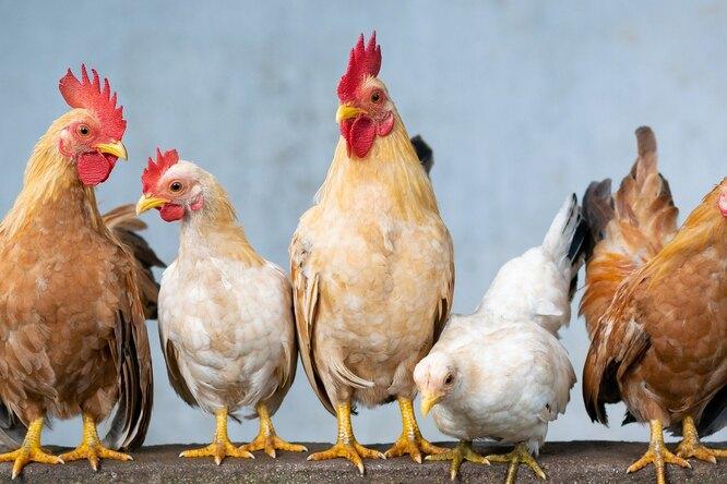 Україна утримується в ТОП-10 світових експортерів курятини